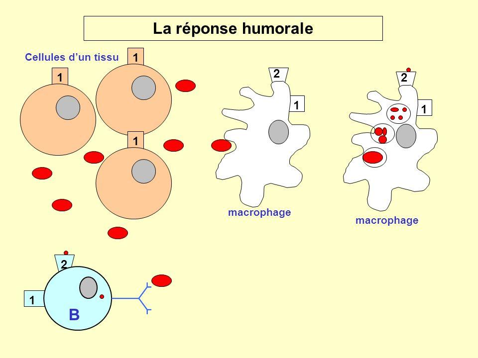 La réponse humorale B 1 1 2 1 1 2 1 1 2 Cellules d'un tissu macrophage
