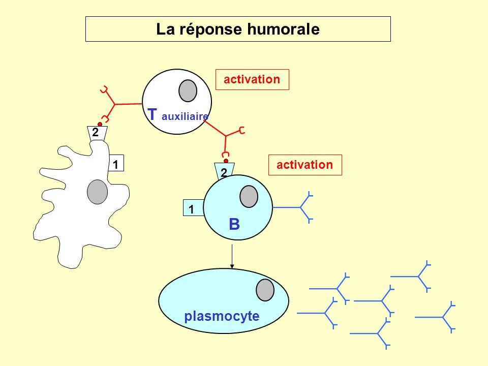 La réponse humorale T auxiliaire B plasmocyte activation 1 2