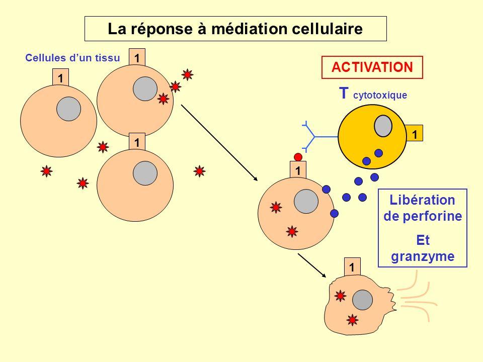 La réponse à médiation cellulaire Libération de perforine