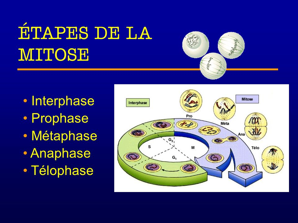 ÉTAPES DE LA MITOSE Interphase Prophase Métaphase Anaphase Télophase