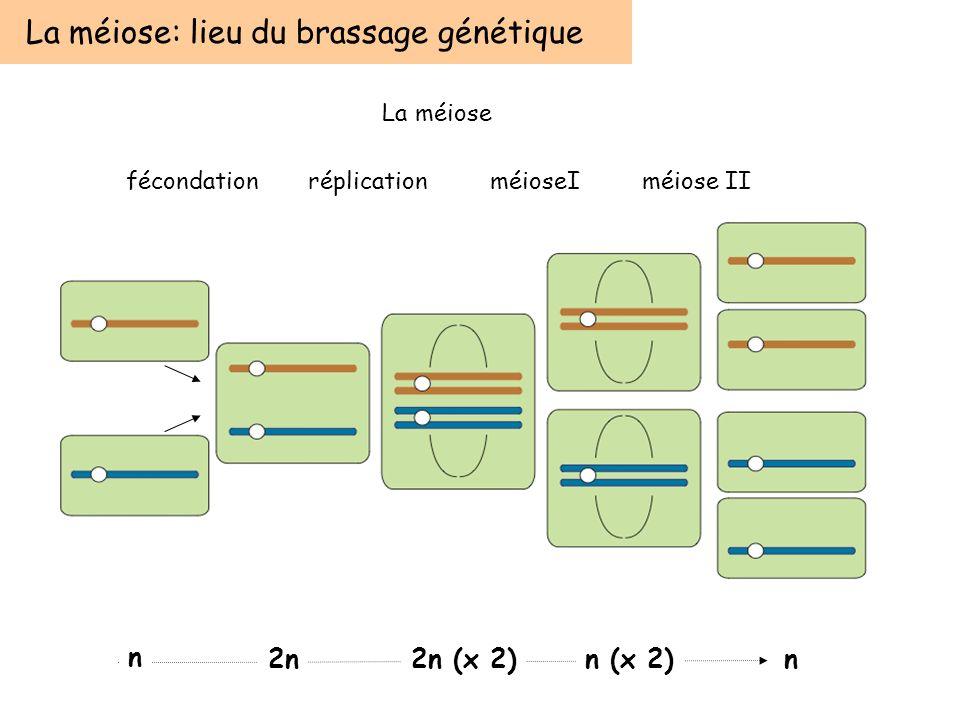 La méiose: lieu du brassage génétique