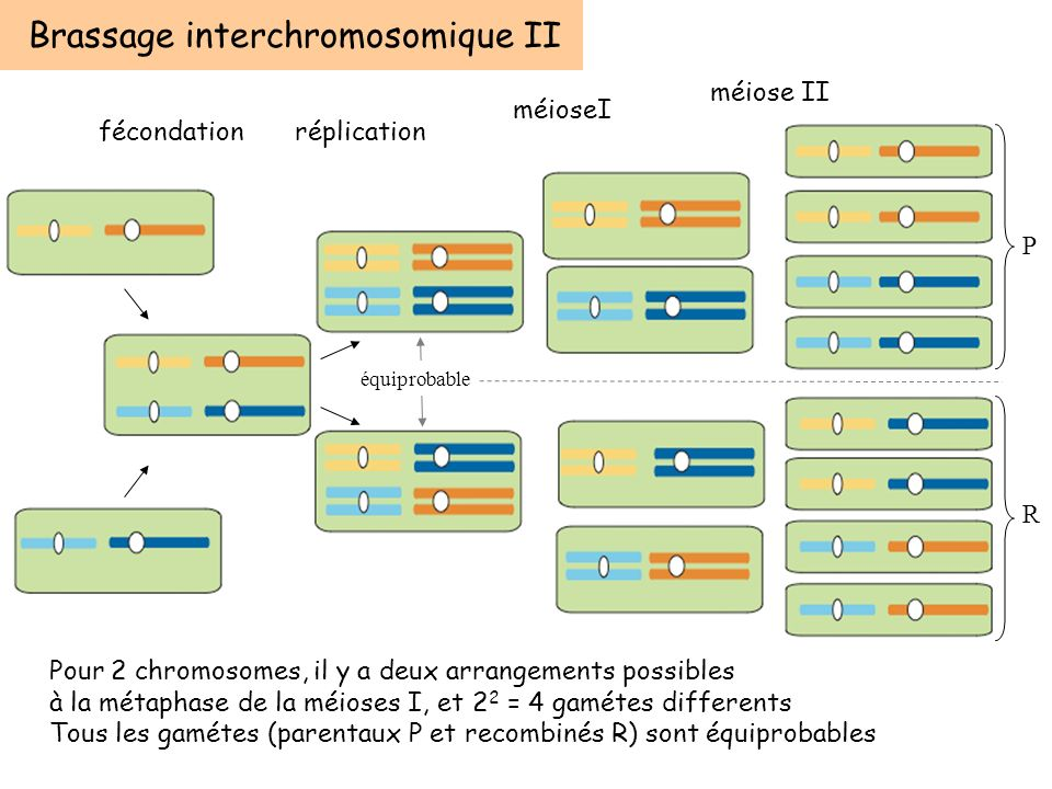 Brassage interchromosomique II