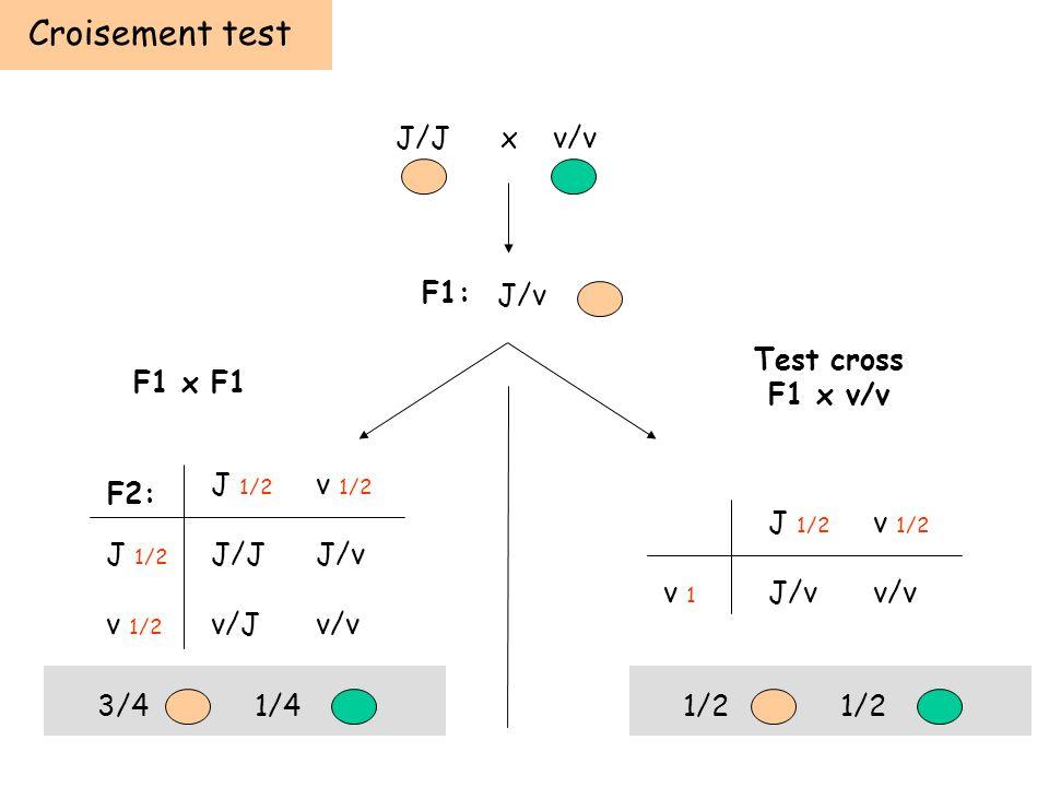 Croisement test J/J x v/v F1: J/v Test cross F1 x v/v F1 x F1