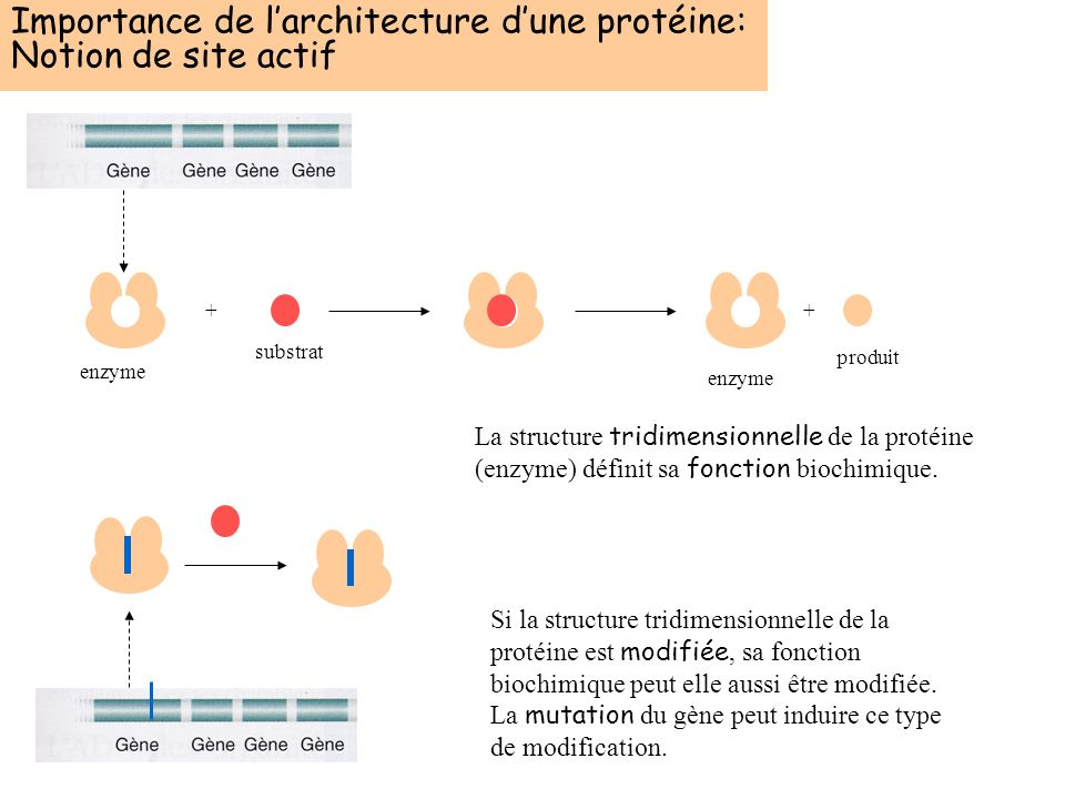 Importance de l'architecture d'une protéine: Notion de site actif