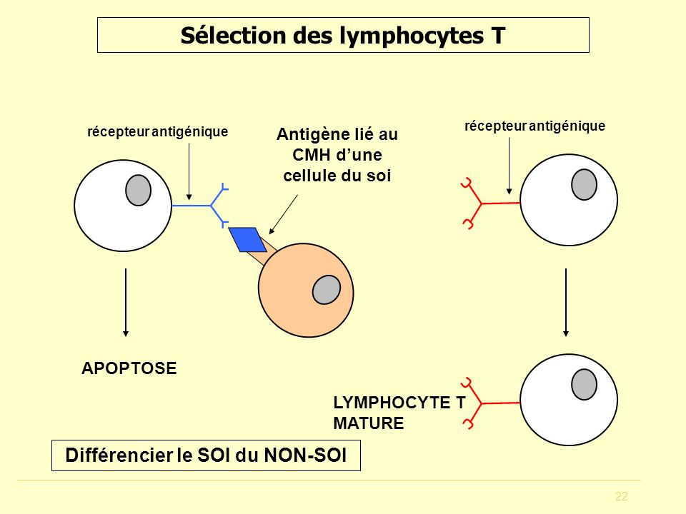 Sélection des lymphocytes T