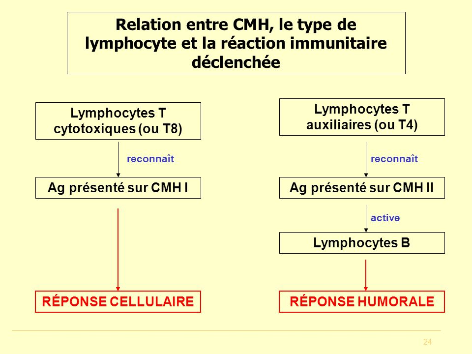Lymphocytes T auxiliaires (ou T4) Lymphocytes T cytotoxiques (ou T8)