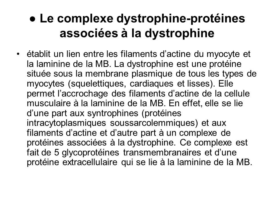 ● Le complexe dystrophine-protéines associées à la dystrophine