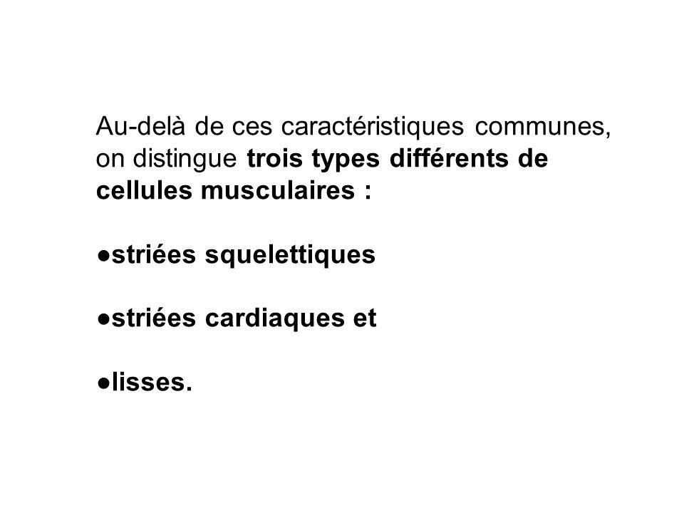 Au-delà de ces caractéristiques communes, on distingue trois types différents de cellules musculaires :