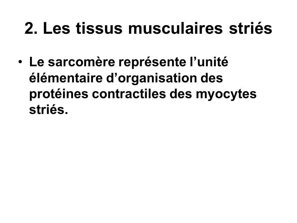 2. Les tissus musculaires striés