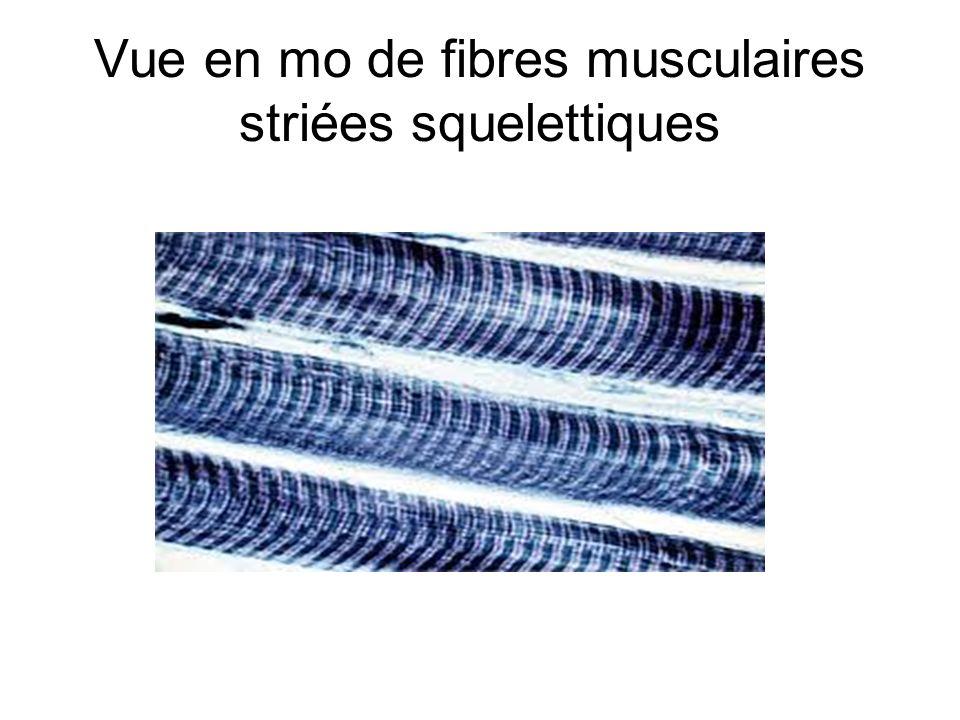 Vue en mo de fibres musculaires striées squelettiques