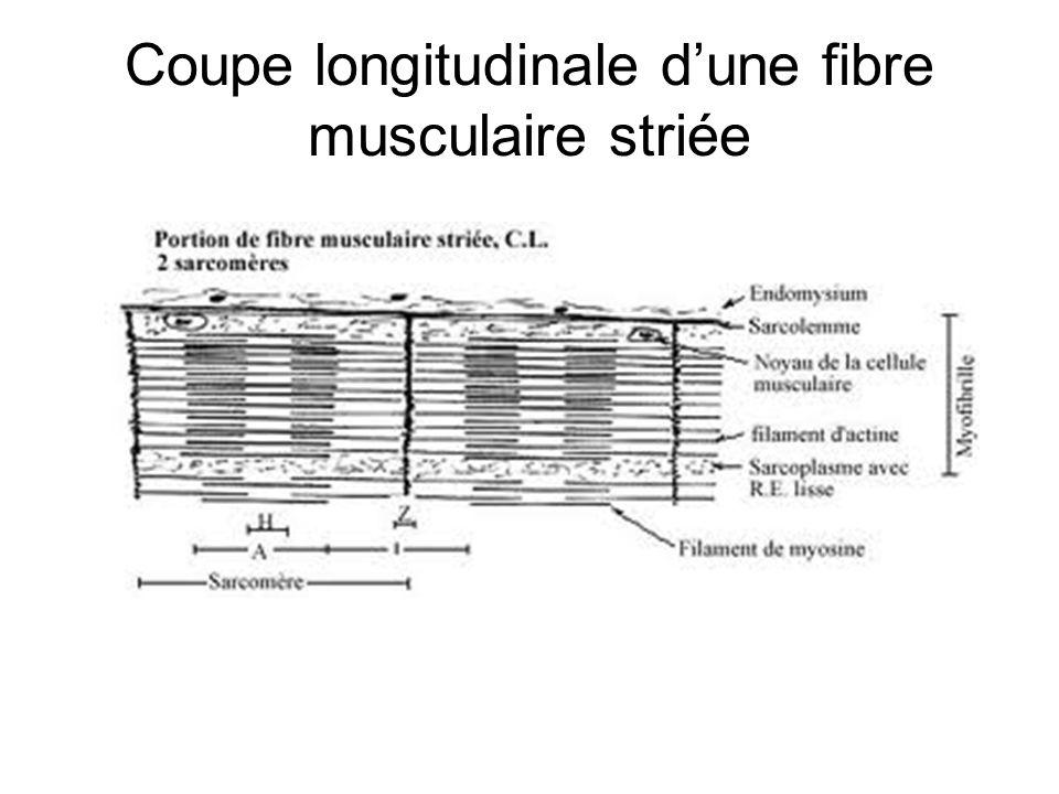 Coupe longitudinale d'une fibre musculaire striée