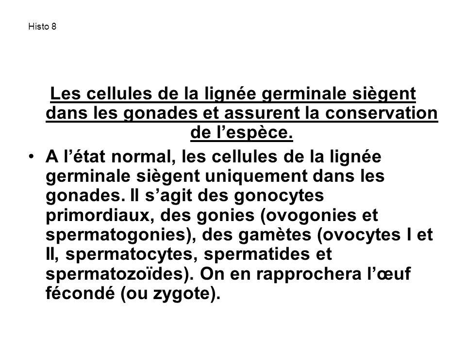Histo 8 Les cellules de la lignée germinale siègent dans les gonades et assurent la conservation de l'espèce.