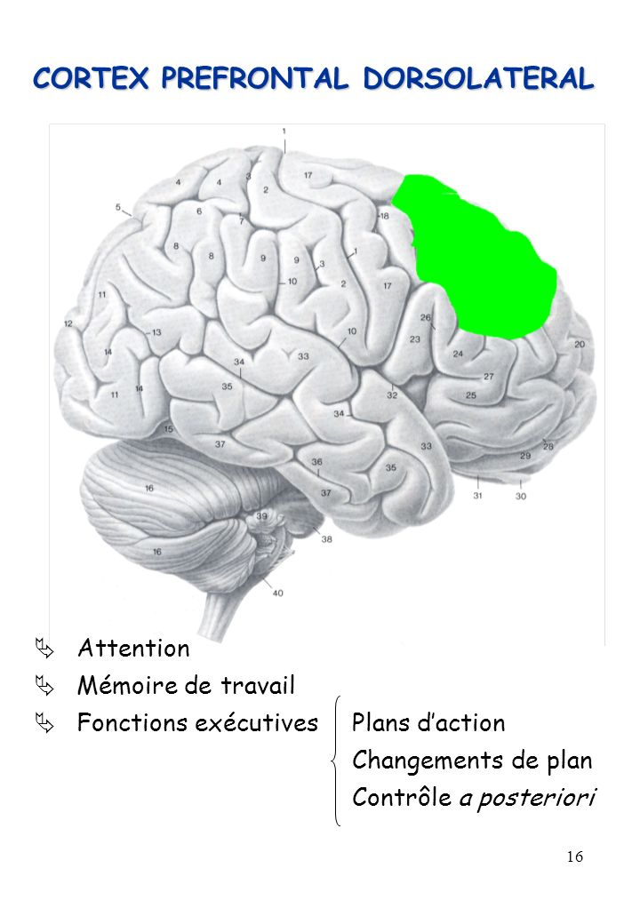 CORTEX PREFRONTAL DORSOLATERAL