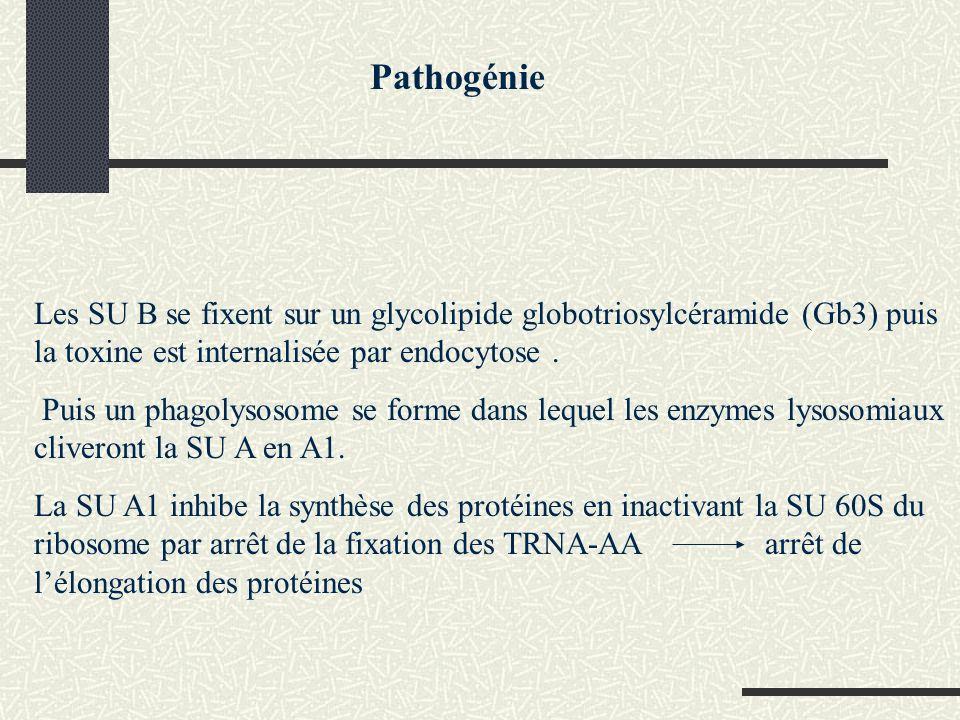 Pathogénie Les SU B se fixent sur un glycolipide globotriosylcéramide (Gb3) puis la toxine est internalisée par endocytose .