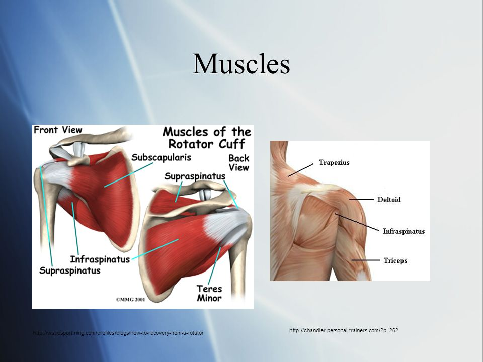Muscles http://chandler-personal-trainers.com/ p=262