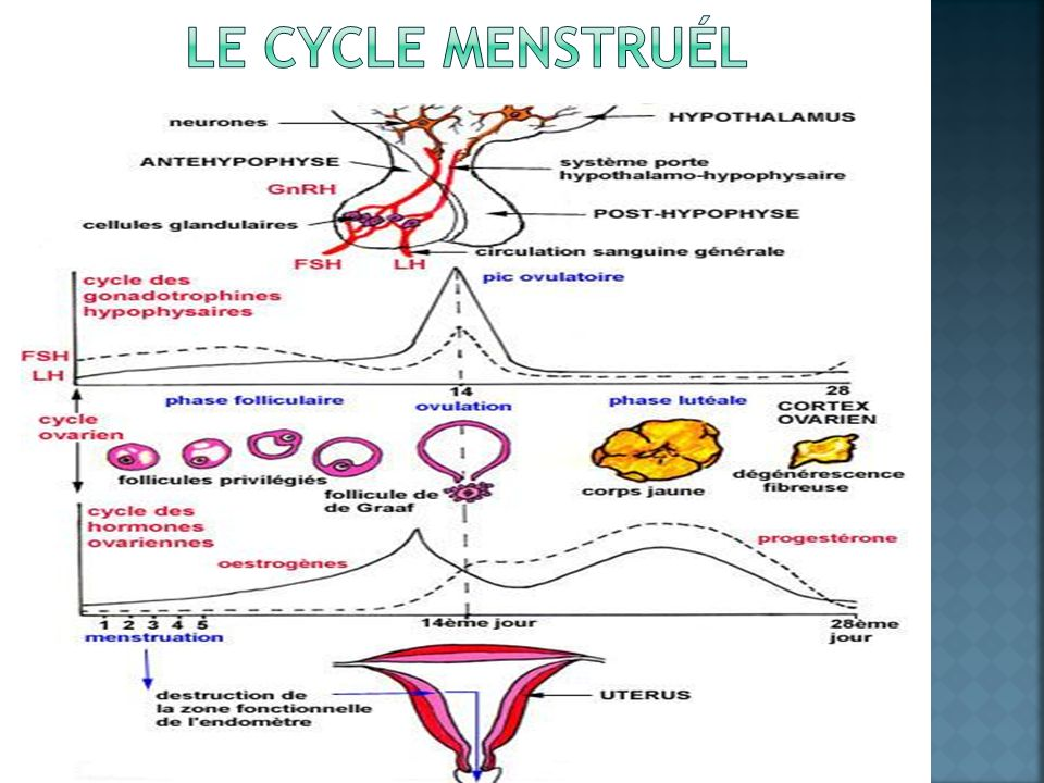 Le cycle menstruÉl