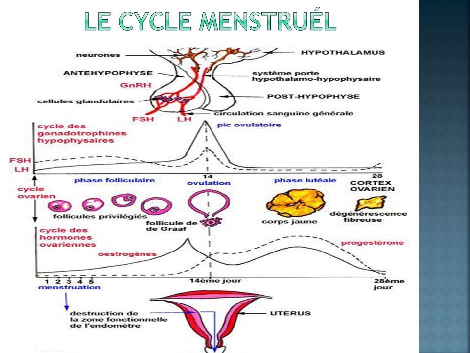 Le cycle menstruÉl