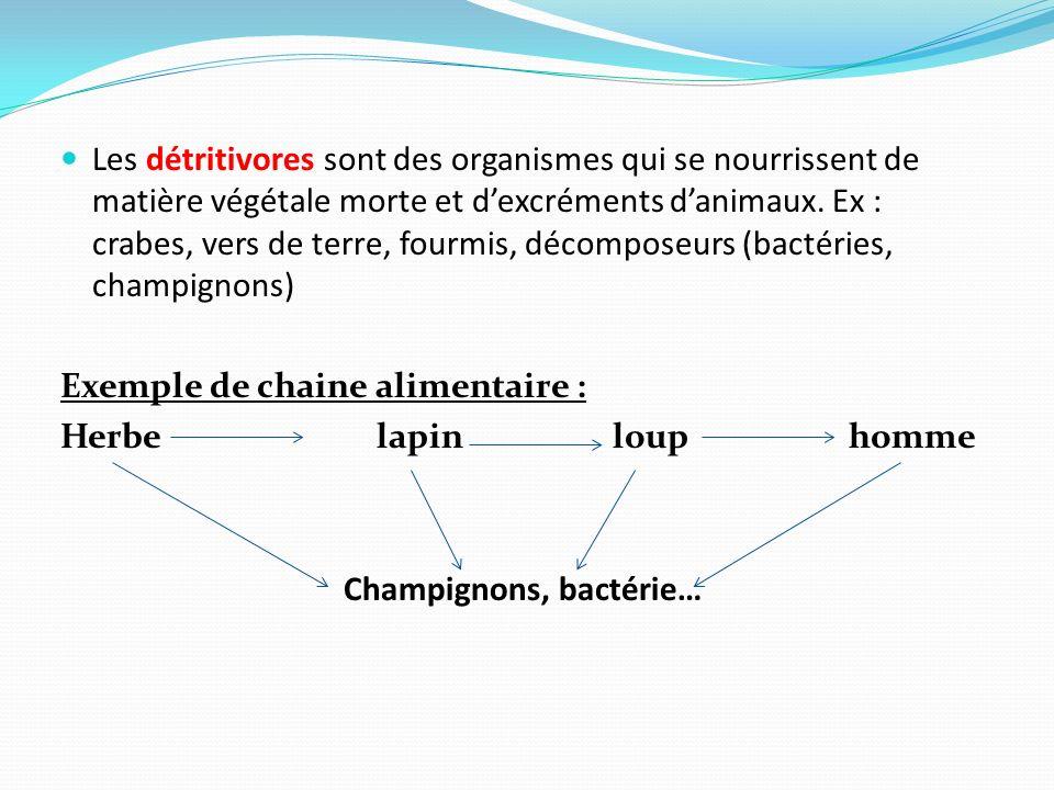 Les détritivores sont des organismes qui se nourrissent de matière végétale morte et d'excréments d'animaux. Ex : crabes, vers de terre, fourmis, décomposeurs (bactéries, champignons)
