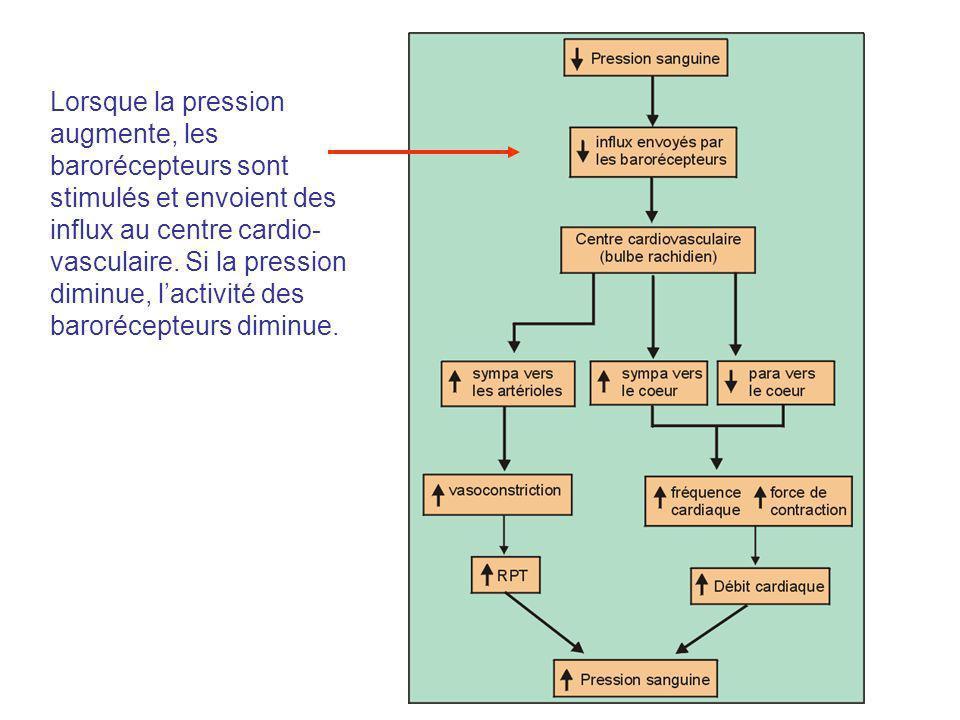 Lorsque la pression augmente, les barorécepteurs sont stimulés et envoient des influx au centre cardio-vasculaire.