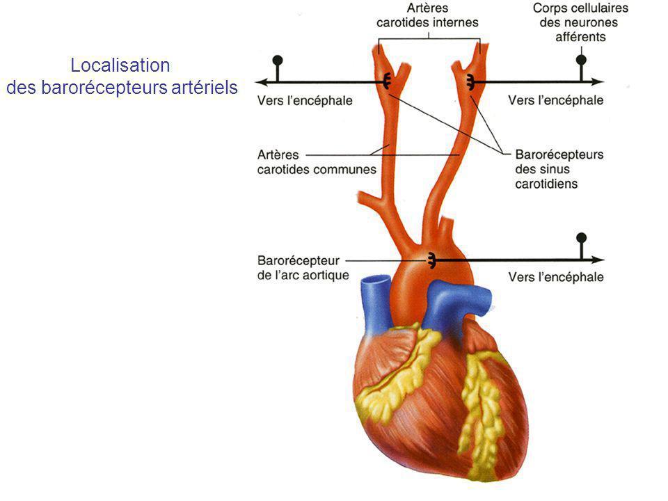 des barorécepteurs artériels