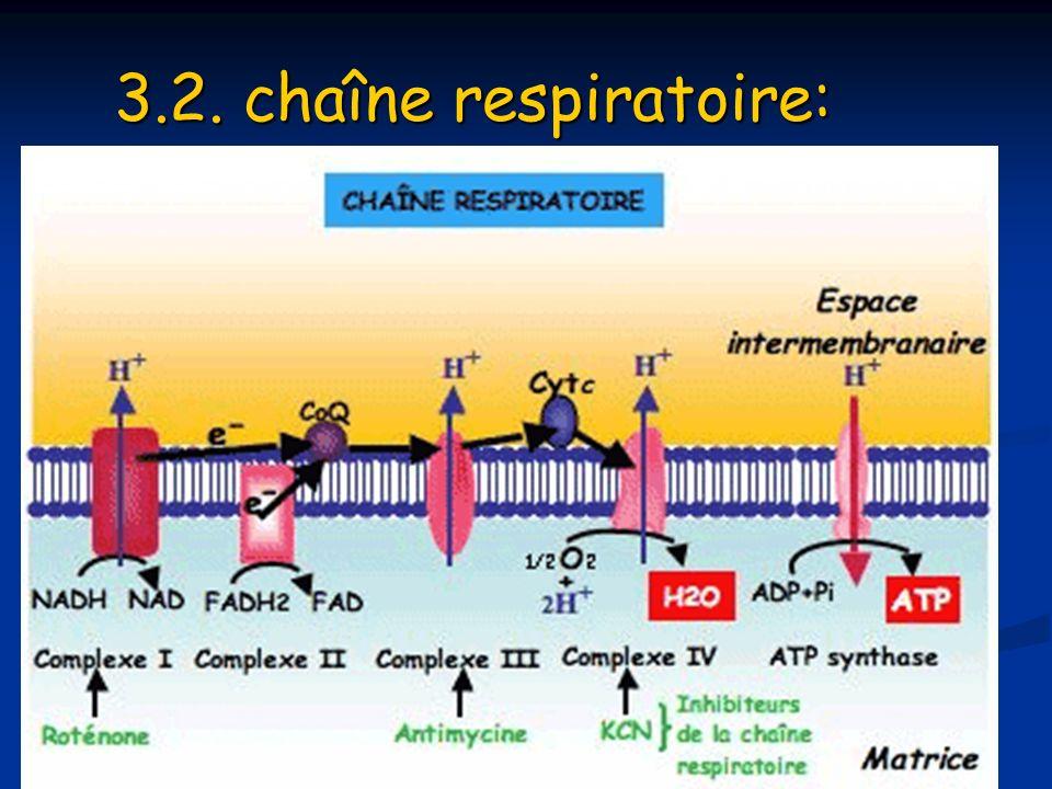 3.2. chaîne respiratoire: