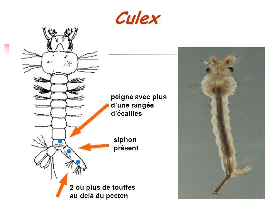 Culex peigne avec plus d'une rangée d'écailles siphon présent