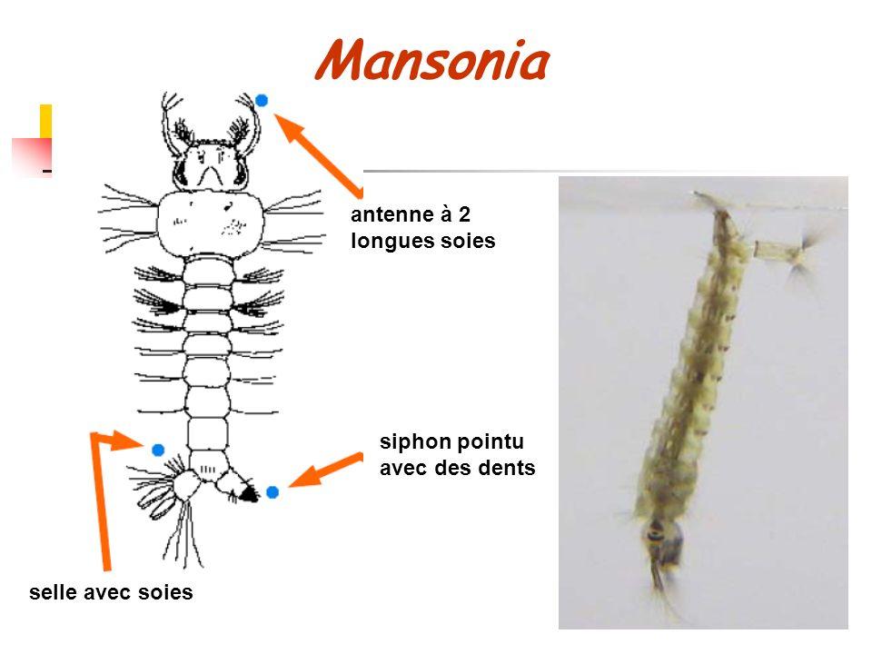 Mansonia antenne à 2 longues soies siphon pointu avec des dents