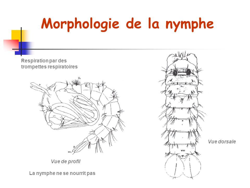 Morphologie de la nymphe