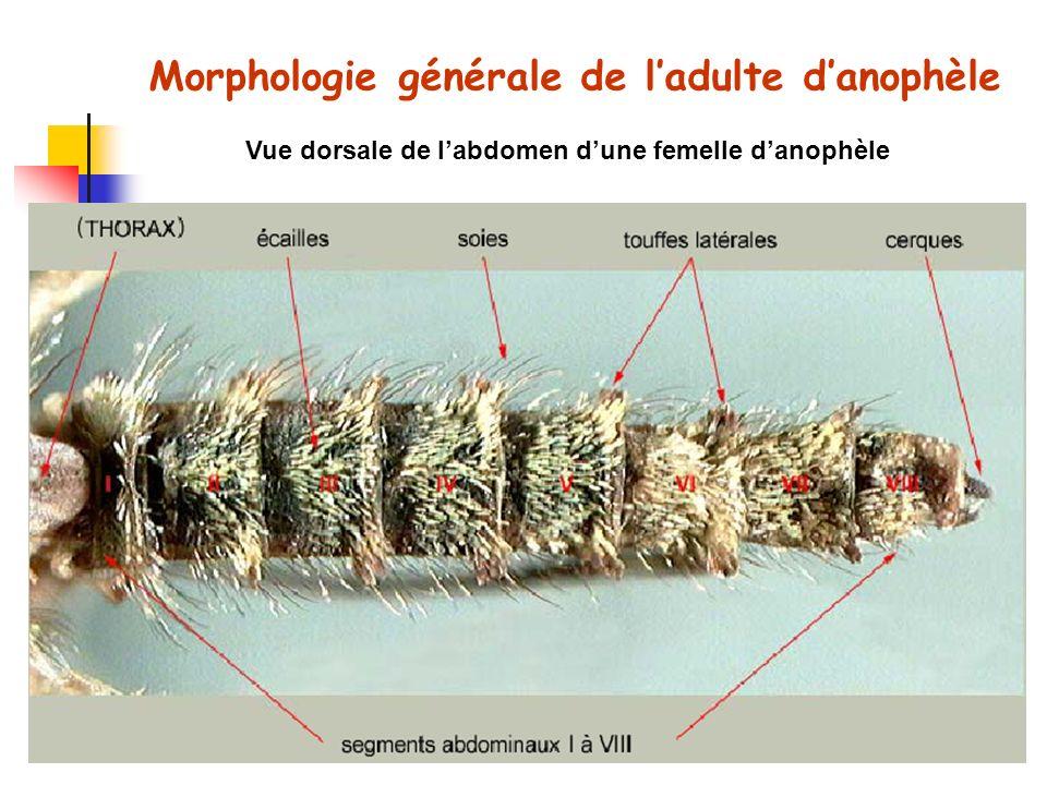 Morphologie générale de l'adulte d'anophèle