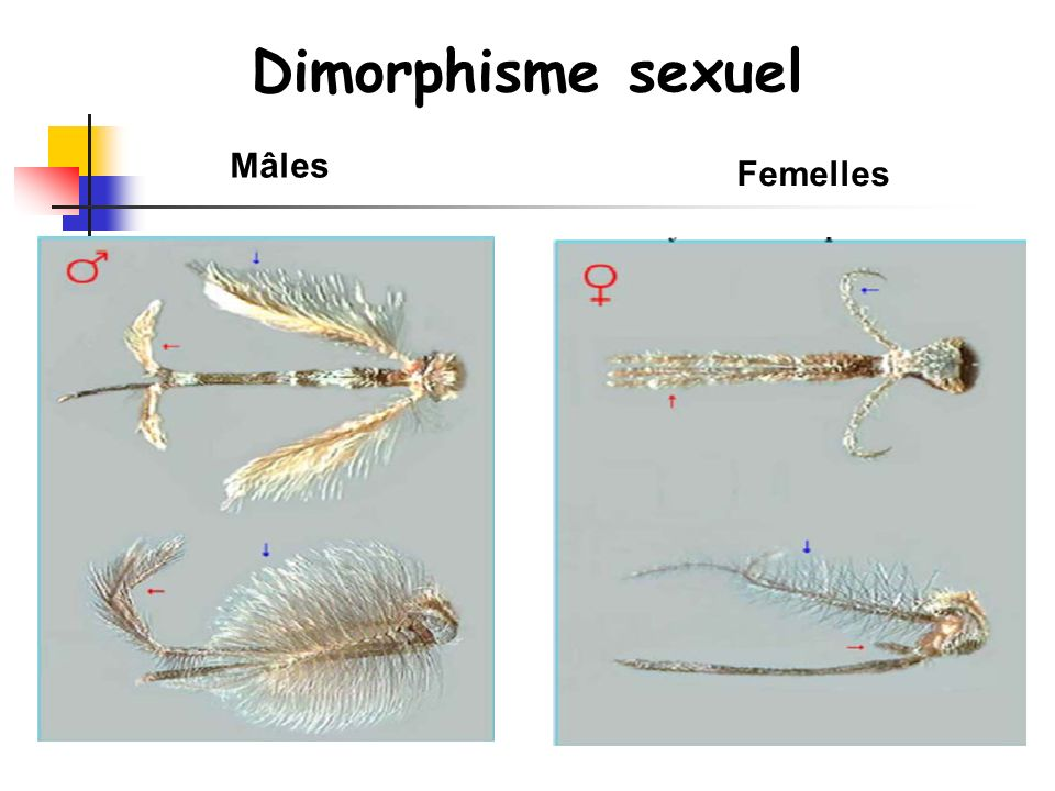Dimorphisme sexuel Mâles Femelles
