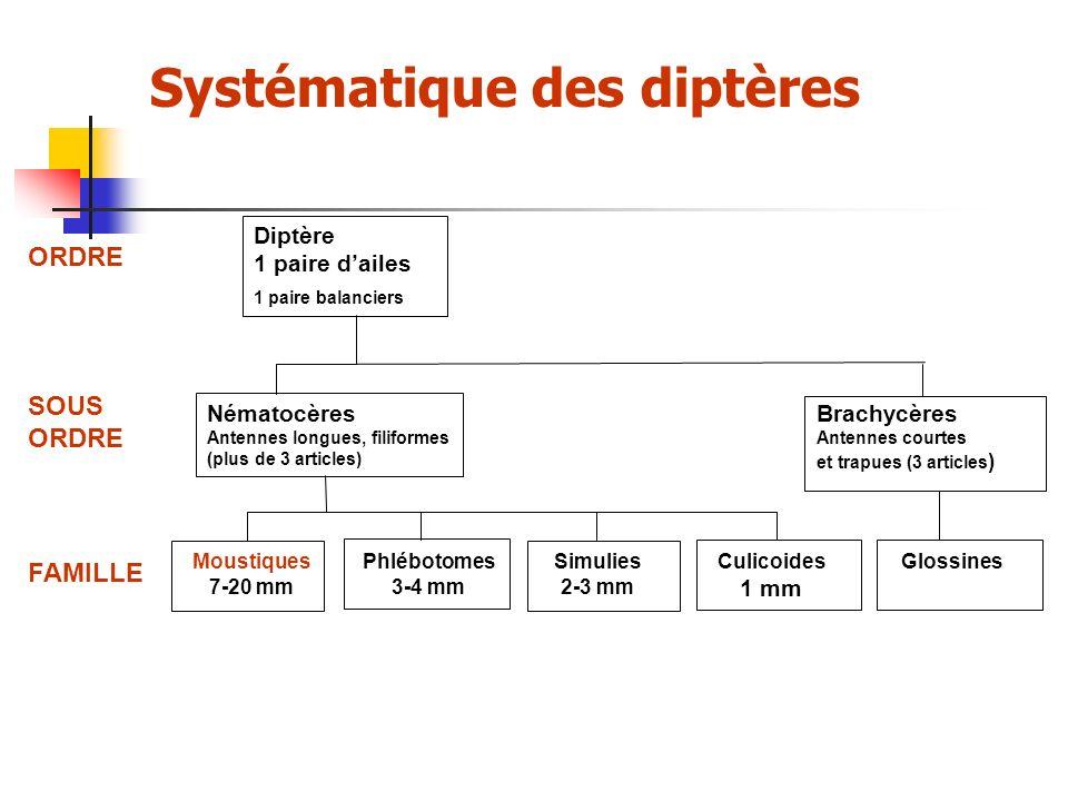 Systématique des diptères
