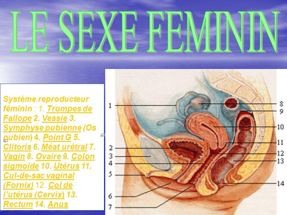 LE SEXE FEMININ