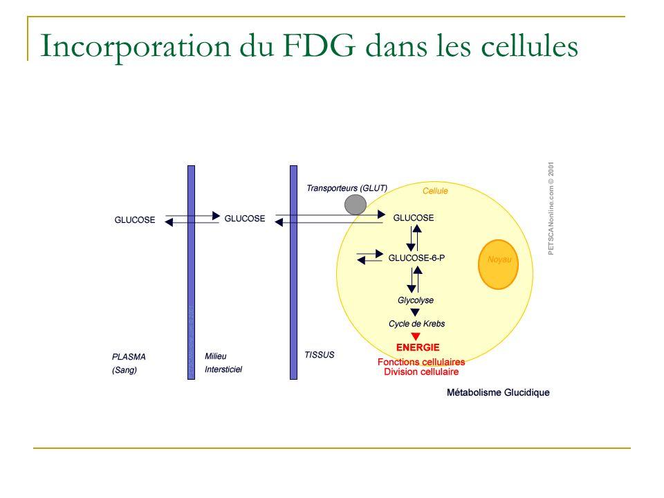 Incorporation du FDG dans les cellules