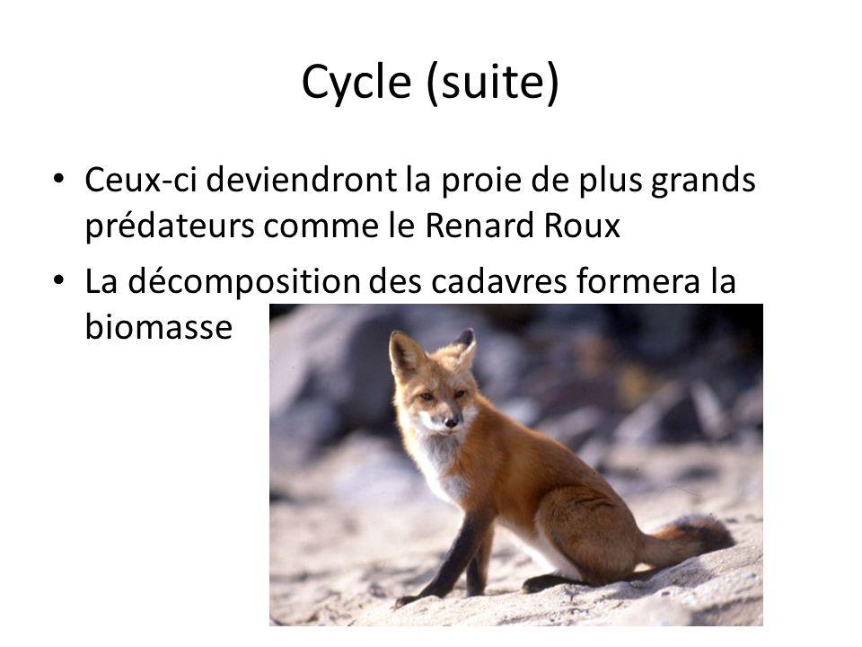 Cycle (suite) Ceux-ci deviendront la proie de plus grands prédateurs comme le Renard Roux.