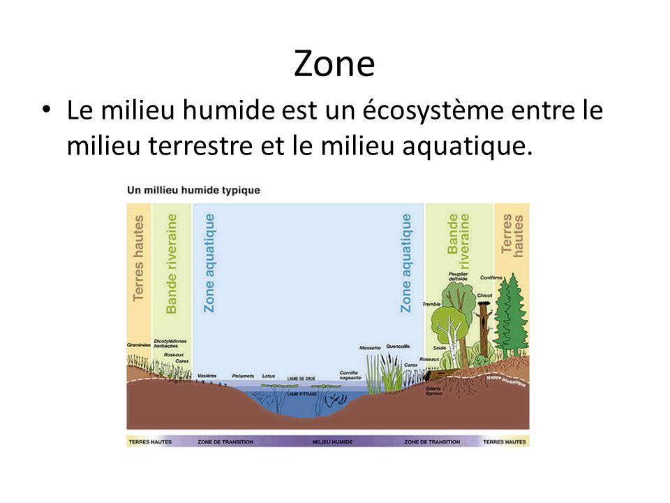 Zone Le milieu humide est un écosystème entre le milieu terrestre et le milieu aquatique.