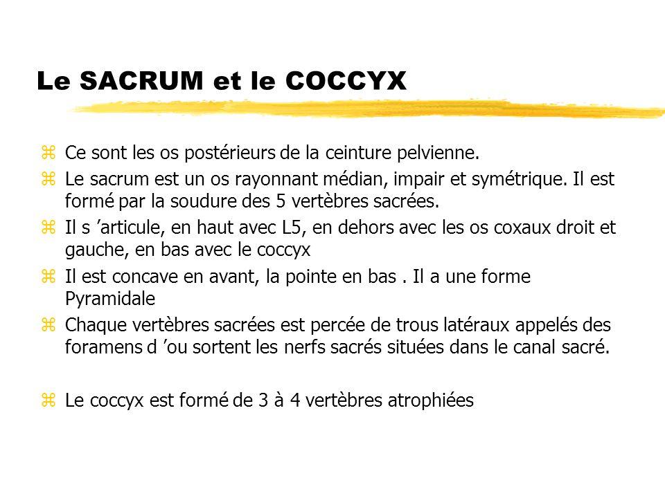 Le SACRUM et le COCCYX Ce sont les os postérieurs de la ceinture pelvienne.