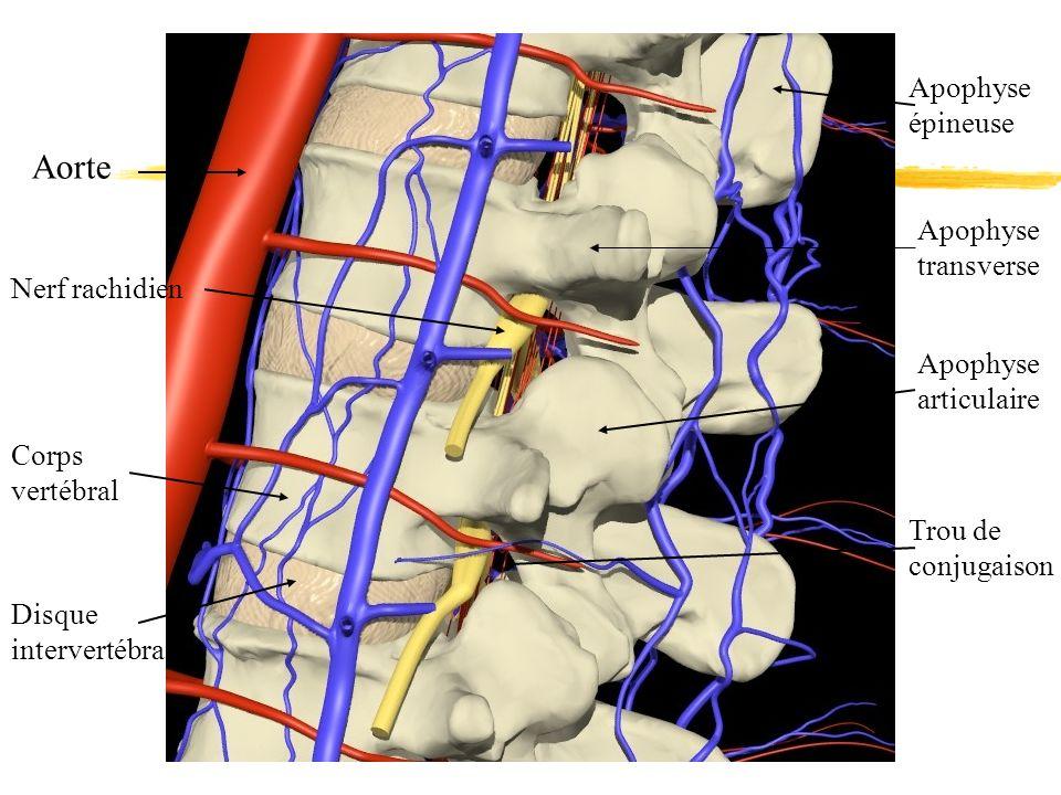 Aorte Apophyse épineuse Apophyse transverse Nerf rachidien