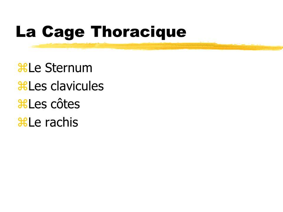 La Cage Thoracique Le Sternum Les clavicules Les côtes Le rachis