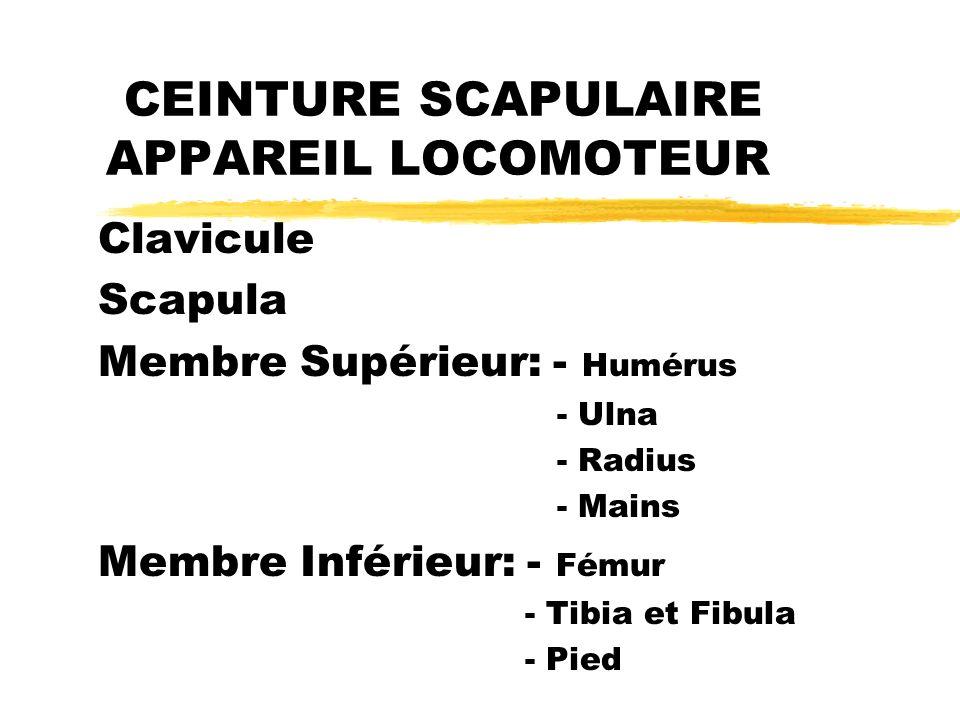 CEINTURE SCAPULAIRE APPAREIL LOCOMOTEUR
