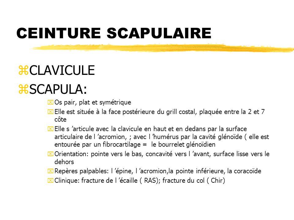 CEINTURE SCAPULAIRE CLAVICULE SCAPULA: Os pair, plat et symétrique