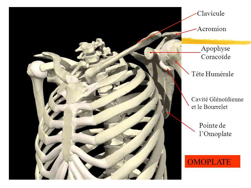 OMOPLATE Clavicule Acromion Apophyse Coracoïde Tête Humérale