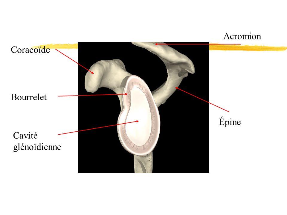 Acromion Coracoïde Bourrelet Épine Cavité glénoïdienne