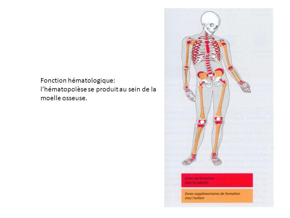 Fonction hématologique: l'hématopoïèse se produit au sein de la moelle osseuse.