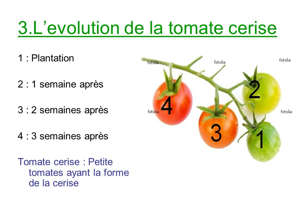 3.L'evolution de la tomate cerise