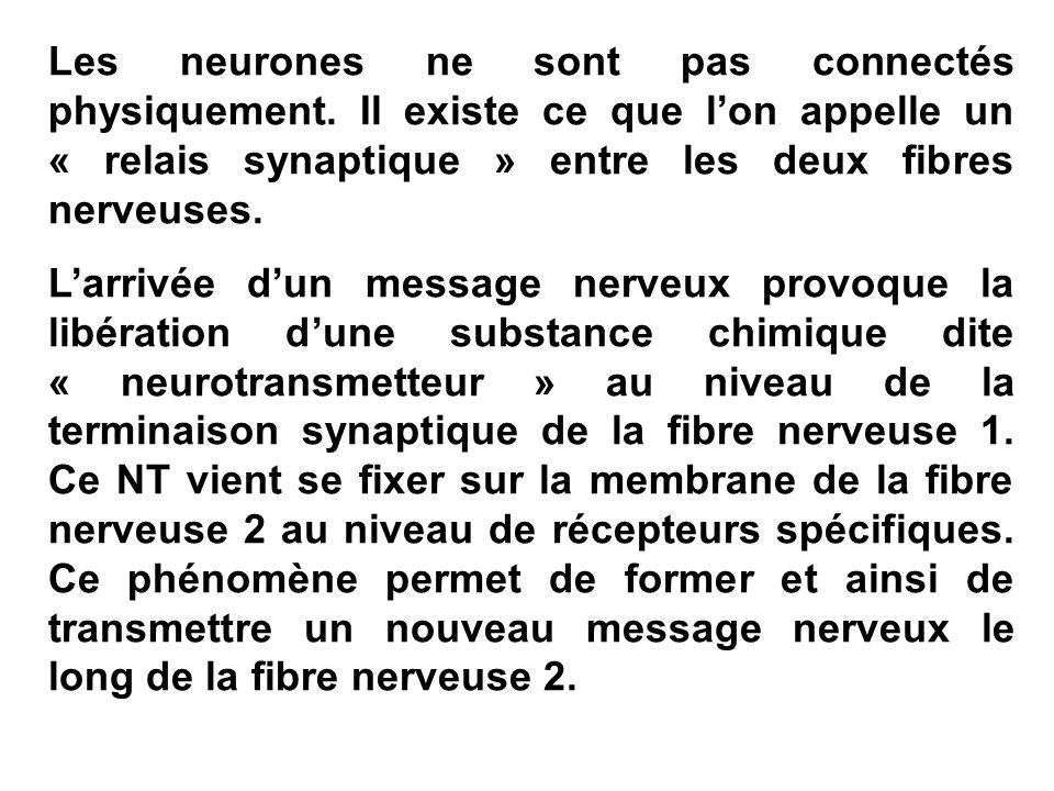Les neurones ne sont pas connectés physiquement