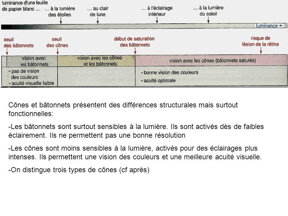 Cônes et bâtonnets présentent des différences structurales mais surtout fonctionnelles: