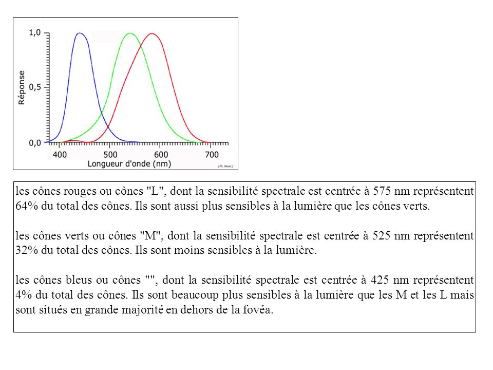 les cônes rouges ou cônes L , dont la sensibilité spectrale est centrée à 575 nm représentent 64% du total des cônes. Ils sont aussi plus sensibles à la lumière que les cônes verts.