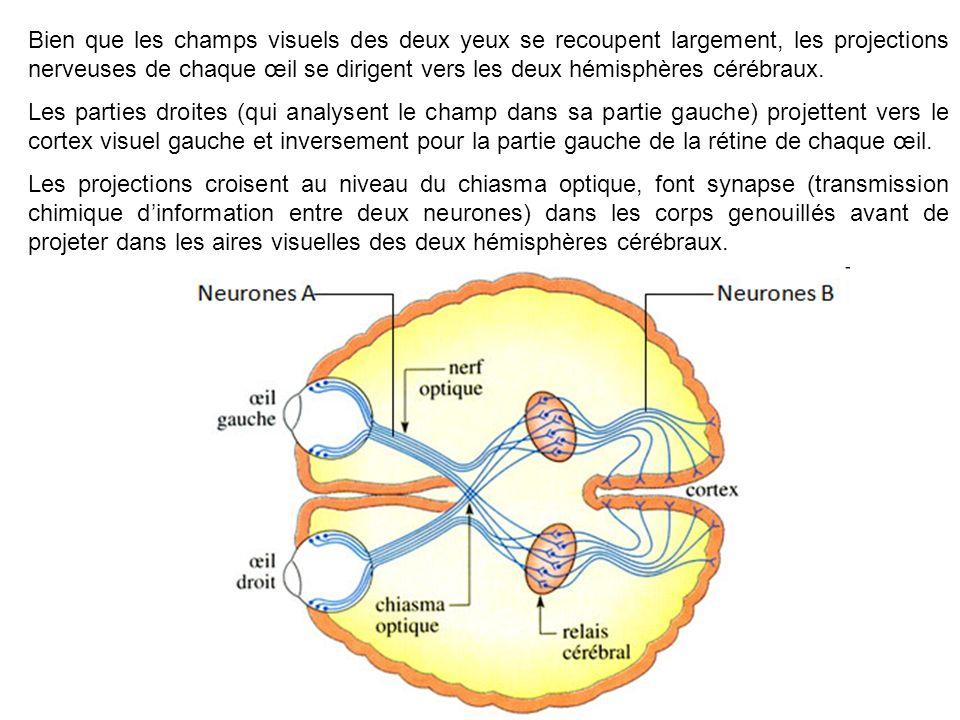 Bien que les champs visuels des deux yeux se recoupent largement, les projections nerveuses de chaque œil se dirigent vers les deux hémisphères cérébraux.