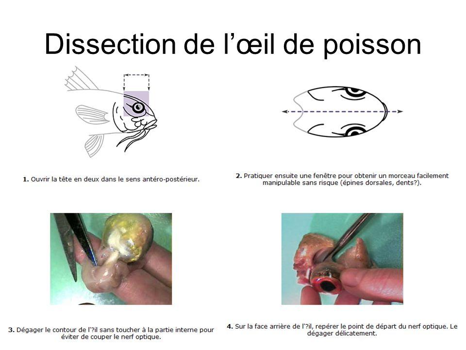 Dissection de l'œil de poisson