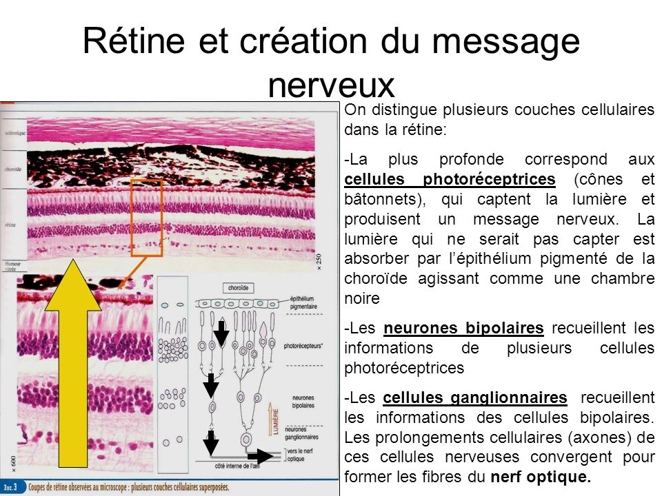 Rétine et création du message nerveux